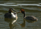 Grebe pair with chicks