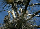 Grey Heron chicks