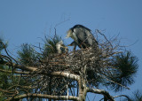 Grey Heron adult & chicks