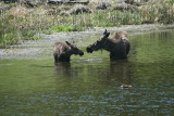 Moose with yearling calf