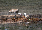 Sandhill Cranes with chick
