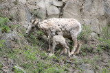 Bighorn sheep with lam