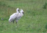 Spoonbills - male & female