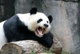 Yang Yang yawning