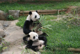 Lun Lun and Mei Lan