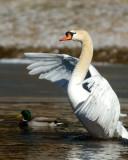 2/4/07 - Swan Risingds20070204_0088a1w Swan Rising.jpg