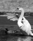 ds20070204_0088a3w Swan Rising Monochrome.jpg