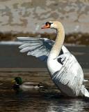 ds20070204_0088a4w Swan Rising Poster Edges.jpg
