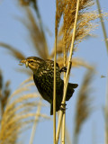 CAROUGE À ÉPAULETTES (F.) / RED-WINGED BLACKBIRD