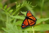 VICE-ROI / VICEROY (Limenitis archippus)