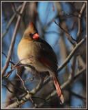 Female Cardinal  Enjoying The Morning Sun