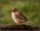 Imature White Crown  Sparrow