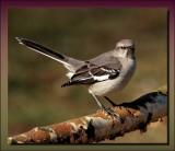 Mockingbird On Ice Damaged Riverbirch Limb