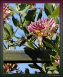 Hummingbird On Trumpet Honeysuckle Vine