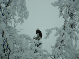 Eagle w snow on trees.JPG