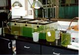 Algae cutlures feed rotifers and brine shrimp.jpg