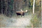 Backyard moose.jpg
