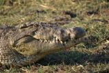 Chobe croc head, Botswana, Africa