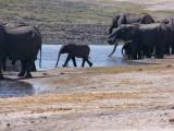 C baby elephant walk.jpg