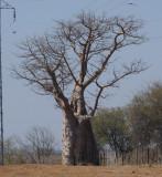 C baobab a.JPG