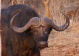C cape buffalo a.JPG
