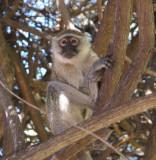 C vervet monkey a.JPG