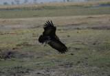 C white-headed vulture imm a.JPG