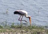 C yellow billed stork a.jpg
