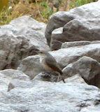 Rock Wren - Don McKee  -