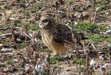 Short-eared Owl - 11-26-06 -