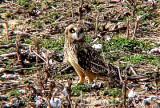 Short-eared Owl - 11-26-06