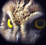 Short-eared Owl - 11-26-06  - eyes