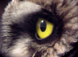 Short-eared Owl - 11-26-06  - right eye -