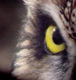 Short-eared Owl - 11-26-06  - eye -