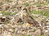 Short-eared Owl - Tunica Co. MS