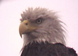 Bald Eagle - Eagle Lake - 2