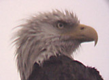 Bald Eagle - Eagle Lake - 3
