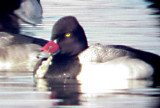 Lesser Scaup -male -bill tagged - red TVA Lake in Memphis
