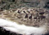 Bairds Sandpiper - 8-22-05 worn adult
