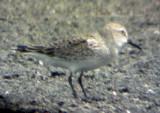 Bairds Sandpiper - 5-21-06 - profile