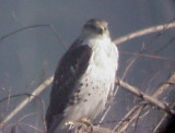 Ferruginous Hawk - MS - 1-1-05 plus TN
