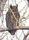 Great Horned owl at Nest Ensley -3-17-07
