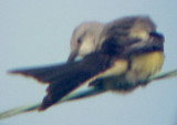 Scissor-t FC - Western Kingbird north Memphis -hybrid -adult 2007