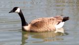 Brant goose 0571