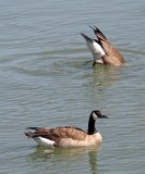 Brant geese 0577