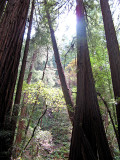 Muir Woods 0796
