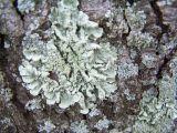 hardy lichen