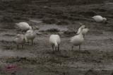 Festival de l'oie blanche pict0009.jpg