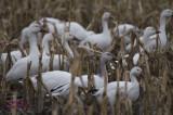 Festival de l'oie blanche pict0017.jpg