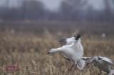 Festival de l'oie blanche pict0023.jpg